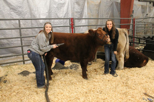 Plano  East students, from left, Alyssa Bottlinger and Ivy Miller of Murphy, prepare Alyssa's Maine Anjou steer, which happens to include a blow-dry, for the show ring at Collin County Junior Livestock Show.