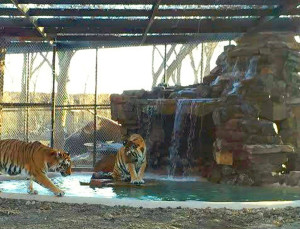 In the newest tiger enclosure at In-Sync, Amolly Wally Way, the large cats enjoy the water.