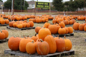There are a total of 2,188 pumkins to choose from at the Murphy Rd. Pumpkin Patch in 2015.