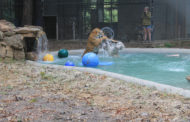 In-Sync opens new pool for tigers